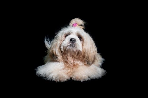 Bellissimo shih tzu mostra cane di classe su sfondo nero
