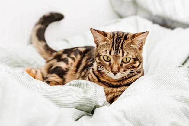 Bello giovane gatto a pelo corto che gioca sul letto a casa.
