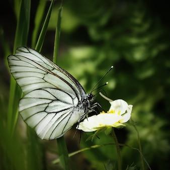 Bello scatto di una farfalla bianca venata di nero sulla pianta verde nella foresta. paesaggio naturale estivo. focalizzazione morbida.