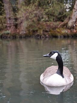 Bello scatto dell'oca del canada (branta canadensis) che galleggia sul lago