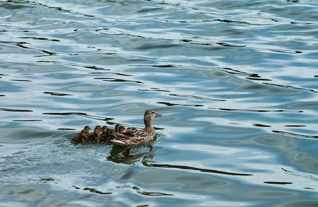 Bellissimo scatto di un'anatra con i suoi anatroccoli che galleggiano sull'acqua