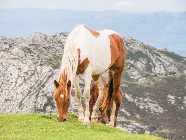 Bellissimo colpo di cavalli al pascolo in un campo nel lago di covadona, in spagna