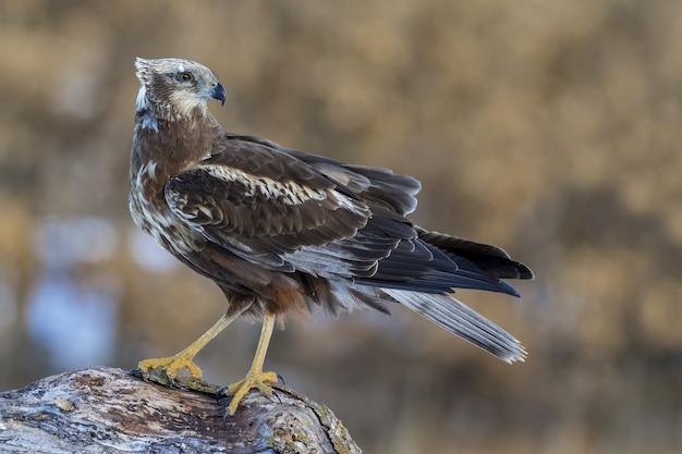 Bellissimo colpo di un maschio di falco di palude (circus aeruginosus) nel campo