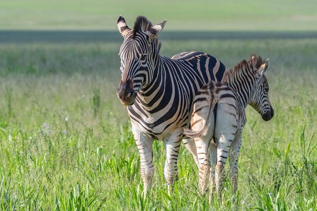 Bellissimo scatto di zebre in un campo verde