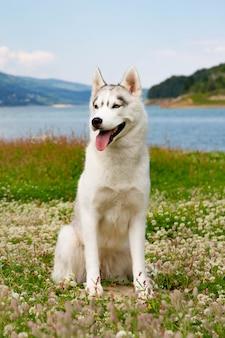 Bello husky siberiano che sta sull'erba