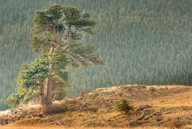 Bellissimo albero unico in piedi nel parco nazionale delle montagne rocciose