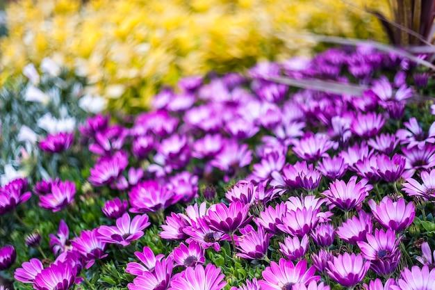 Bellissimo sfondo floreale morbido con fiori margherita
