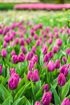 Bellissimo sfondo floreale morbido con fiori di tulipano
