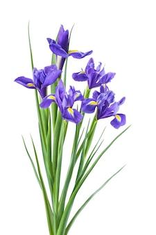 Fiori di iris bella primavera isolati su superficie bianca, per il design creativo della natura