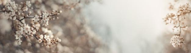 Bella scena della natura primaverile con albero in fiore bianco alla luce del sole. fondo vago astratto con l'insegna di web dello spazio della copia. messa a fuoco selettiva morbida