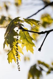 Bella quercia di primavera durante la fioritura primaverile, close-up di quercia con fiori, clima primaverile nella foresta, dettagli