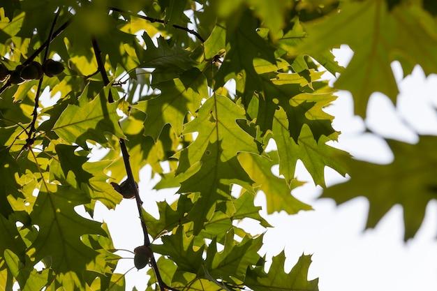 Bella la struttura del fogliame di quercia verde in primavera, l'inizio della crescita delle piante durante la stagione calda