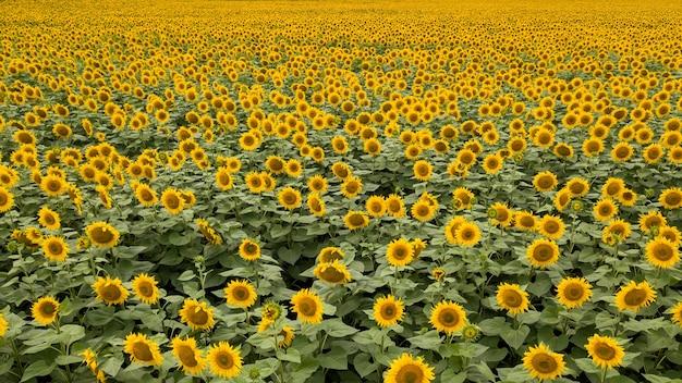 Bellissimo paesaggio estivo con un campo fiorito di sfondo giallo girasoli sfondo naturale fioritura