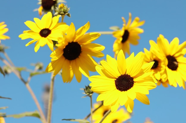 Bellissimi girasoli in fiore nel campo con cielo blu.