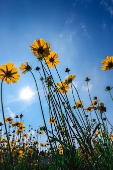Bellissimi girasoli sotto il cielo azzurro con il sole che splende per lo sfondo della natura