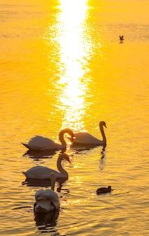 Bellissimi cigni e anatre sulla superficie del fiume al tramonto