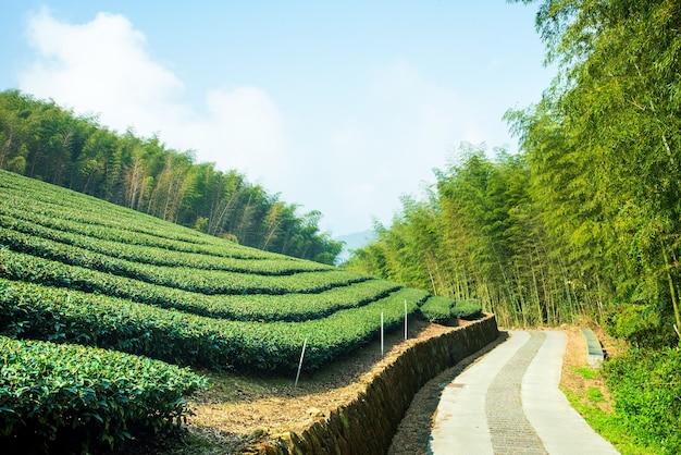 Bella scena di righe del giardino del tè isolata con cielo blu e nuvola, concetto di design per lo sfondo del prodotto del tè, spazio della copia, vista aerea