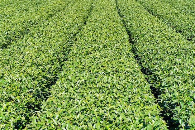 Bella scena di file del giardino del tè isolata con cielo blu e nuvole, concetto di design per lo sfondo del prodotto del tè, spazio copia, vista aerea