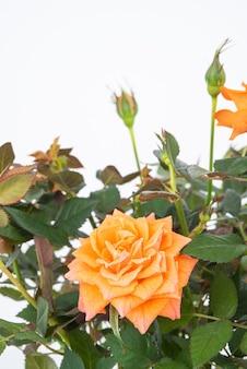 Bellissimo cespuglio di rose tea con fiori d'arancio su uno sfondo isolato