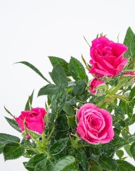 Bellissimo cespuglio di rose tea con fiori rosa su uno sfondo isolato
