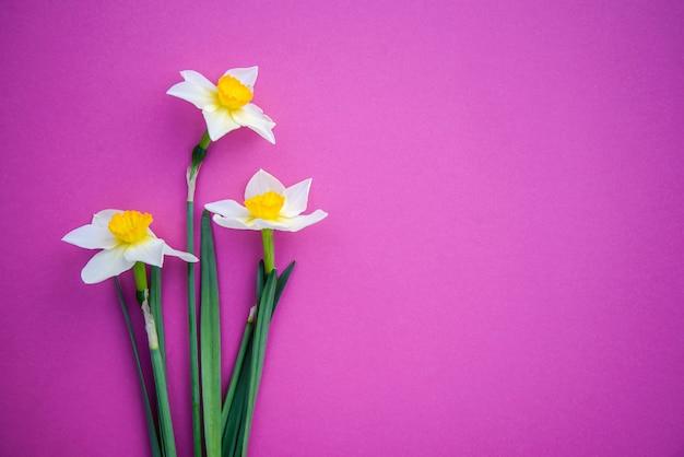 Bellissimi tre bianchi con narcisi gialli su uno sfondo rosa brillante con spazio per le copie