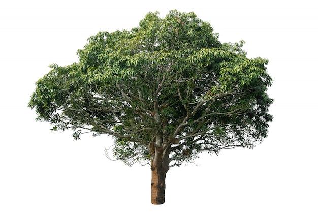 Bellissimo albero con foglie verdi isolato su sfondo bianco