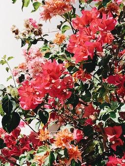 Bellissimi fiori rossi e arancioni esotici tropicali che sbocciano sul grande lussureggiante