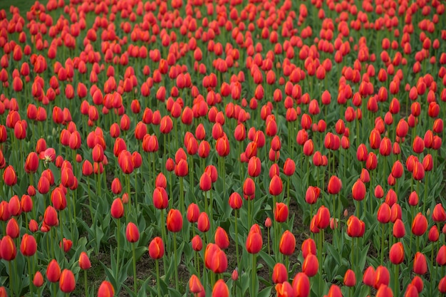 Bellissimo campo di tulipani, giardino fiorito di tulipani rossi.