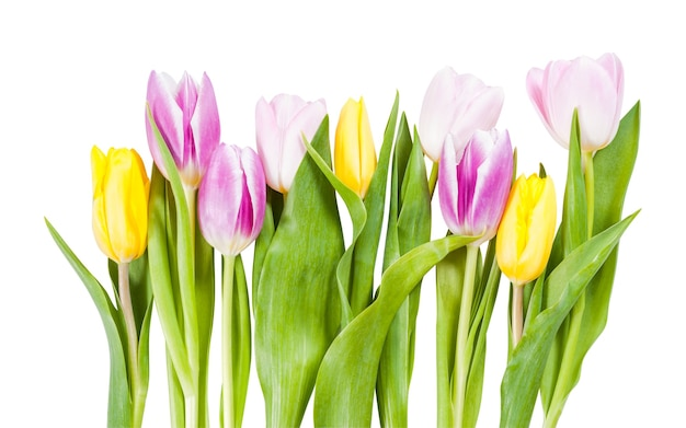 Bellissimi fiori di tulipano isolati su sfondo bianco