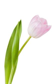 Bei fiori del tulipano isolati su bianco