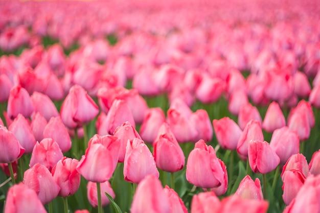 Bellissimi fiori di tulipano, messa a fuoco selettiva