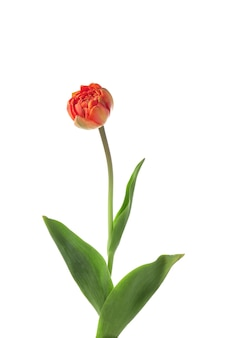 Bellissimo tulipano su sfondo bianco