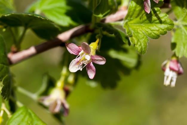 Bellissimi fiori insoliti cespugli di uva spina in giardino, frutteto, uva spina in fiore in estate