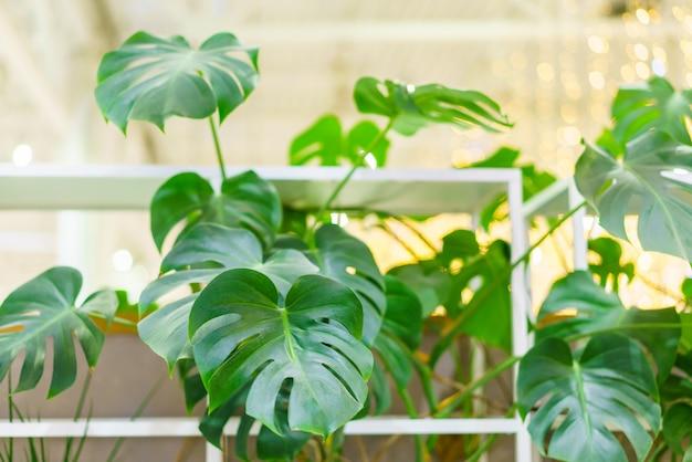 Belle e insolite foglie di monstera sullo sfondo di altre piante verdi e rami mons...