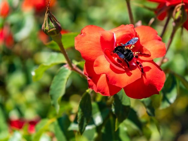 Bellissima varietà di rose coltivate nel jardin rosedal de palermo a buenos aires, argentina.