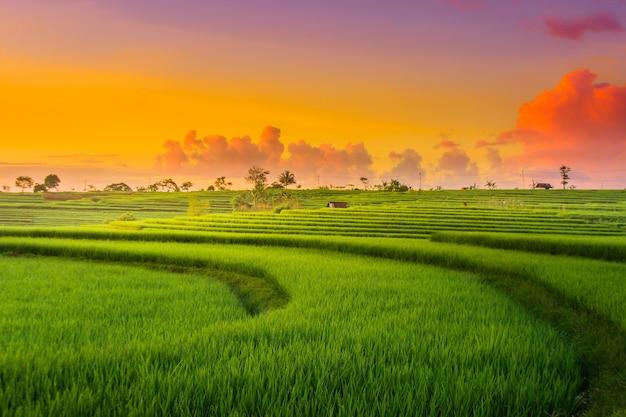 Bella vista del riso giallo al tramonto con il cielo rosso sopra i campi di riso kemumu north bengkulu indonesia
