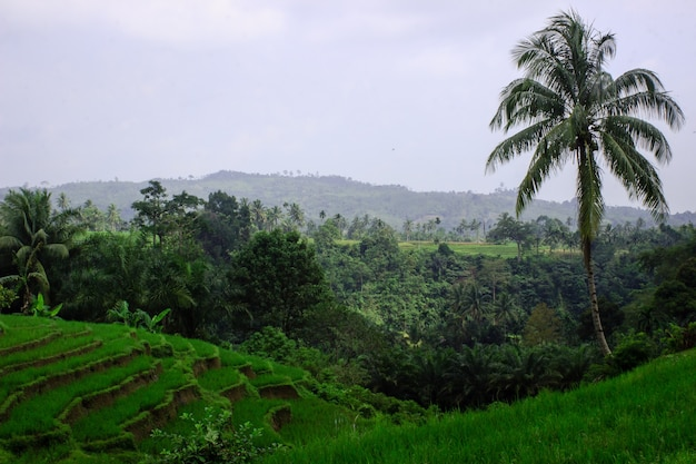 Splendide vedute dei campi di riso durante il giorno nel nord bengkulu, indonesia
