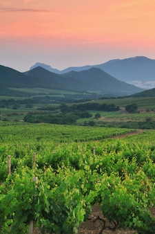 Bella vigna nella valle di montagna al tramonto.