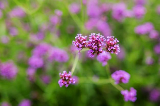 Bellissimi fiori di verbena viola