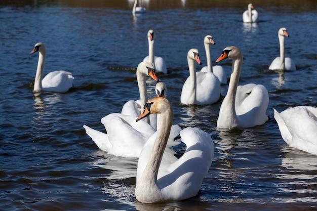 Bellissimo gruppo di uccelli acquatici uccello del cigno sul lago in primavera