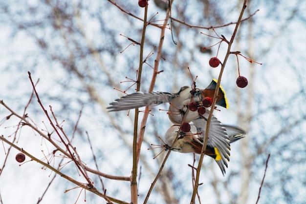 Bellissimi waxwings in lotta per le bacche sul brunch dell'albero. gli uccelli canori migratori variopinti cantano sul cielo