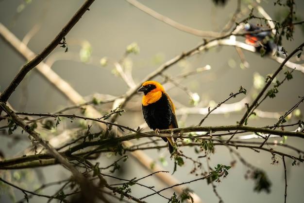Bellissimo uccello tessitore seduto su un ramo