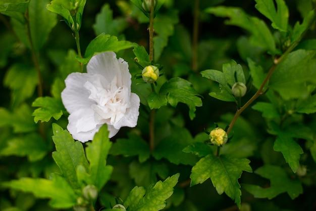 Bello grande fiore di ibisco bianco sul fondo verde della natura. il primo piano del fiore di hibiskus syriacus, i fiori bianchi sono in piena fioritura