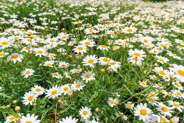 Campo di fiori margherita bella camomiles bianco sul prato verde