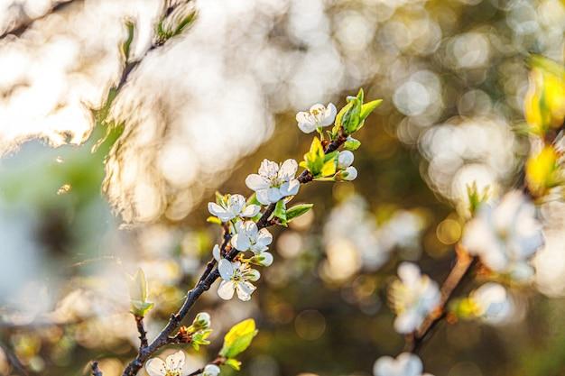 Bellissimi fiori di ciliegio bianco sakura fiori in giardino fiorito o parco