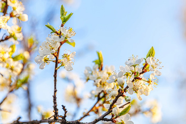 Bella bianco fiori di ciliegio sakura fiori in primavera. sullo sfondo della natura con la fioritura del ciliegio. giardino o parco fiorito floreale naturale ispiratore. disegno di arte del fiore. messa a fuoco selettiva.
