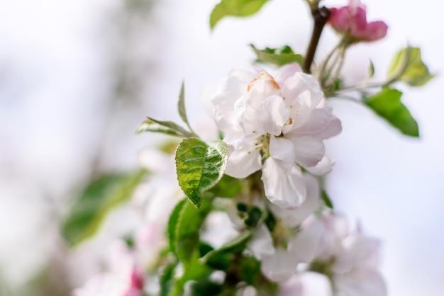 Bellissimi fiori bianchi contro piante verdi nel giardino primaverile, piante e fiori
