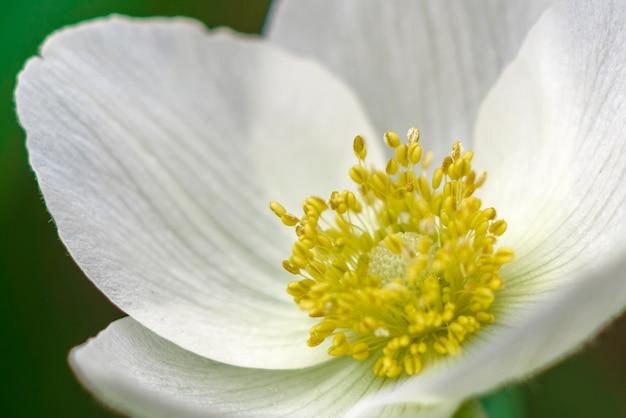 Bellissimi fiori bianchi contro piante verdi nel giardino primaverile.