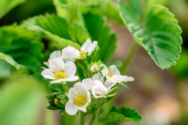 Bellissimi fiori bianchi contro piante verdi nel giardino estivo.