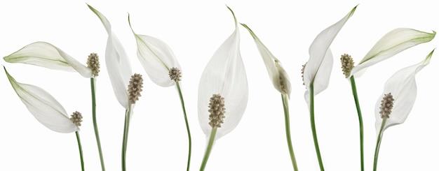 Bellissimi fiori bianchi isolati su sfondo bianco.